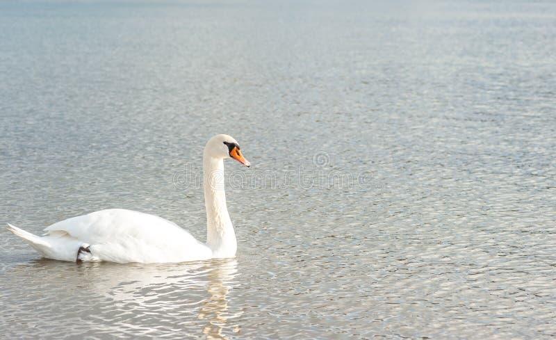 Piękny bezpłatny pełen wdzięku dziki biały niemego łabędź ptasi dopłynięcie w wodzie w natury uczucia spokoju zdjęcia royalty free