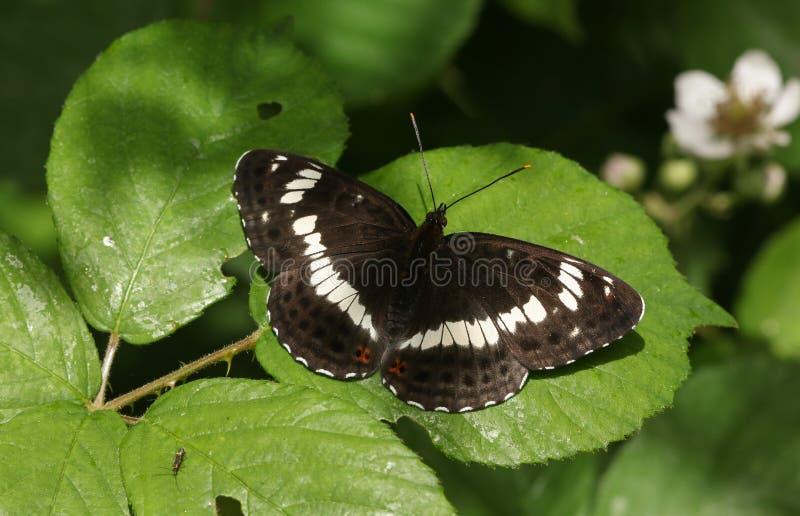 Piękny Białego Admiral Limenitis Camilla Motyli tyczenie na jeżynowym liściu w lesie obraz stock