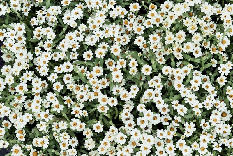Piękny białej stokrotki kwiat, Bellis perennis w ogródzie, Jaskrawych stokrotek odgórny widok dla tła lub tapeta, fotografia royalty free