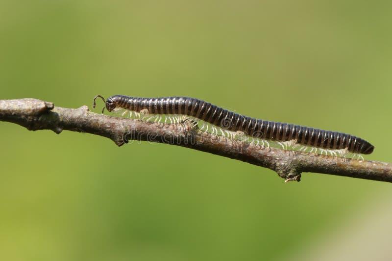 Piękny Białonogi węża krocionoga Tachypodoiulus Niger odprowadzenie wzdłuż gałązki obraz stock