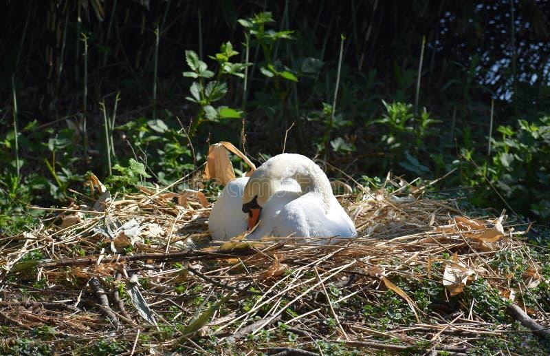 Piękny biały łabędź gniazduje na jeziornym brzeg obraz stock