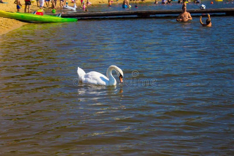 Piękny biały łabędź w jeziorze na plaży Tło obraz royalty free