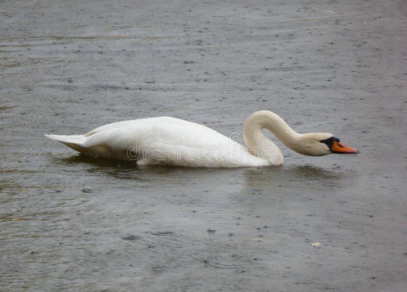 Piękny biały łabędzi dopłynięcie w deszczu zdjęcia royalty free
