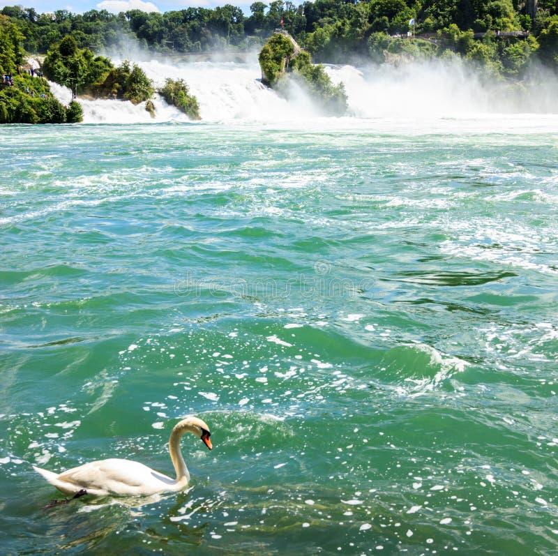 Piękny biały łabędzi unosić się przed Rheinfall siklawami przy Rhine rzeką duże siklawy Europa zdjęcia stock