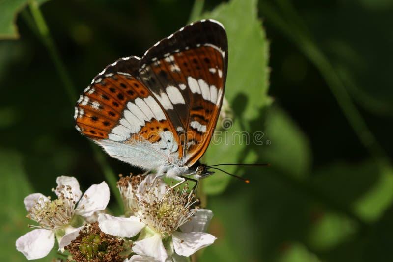 Piękny Biały Admiral Motyli Limenitis Camilla nectaring na jeżynowym kwiacie w lesie fotografia stock