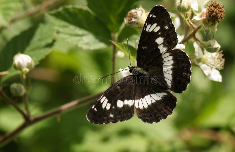 Piękny Biały Admiral Motyli Limenitis Camilla nectaring na jeżynowym kwiacie w lesie zdjęcia stock
