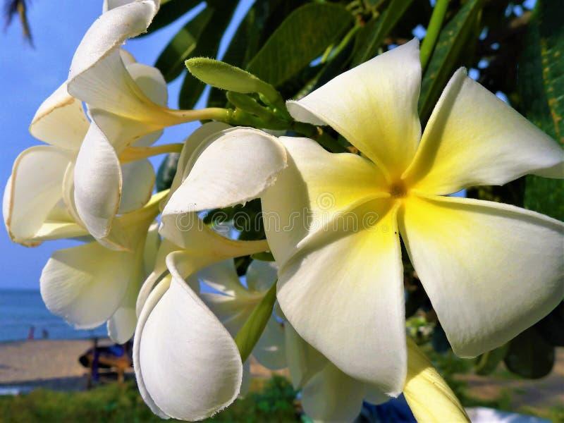 Piękny biały Champaka kwiat makro- zdjęcia stock