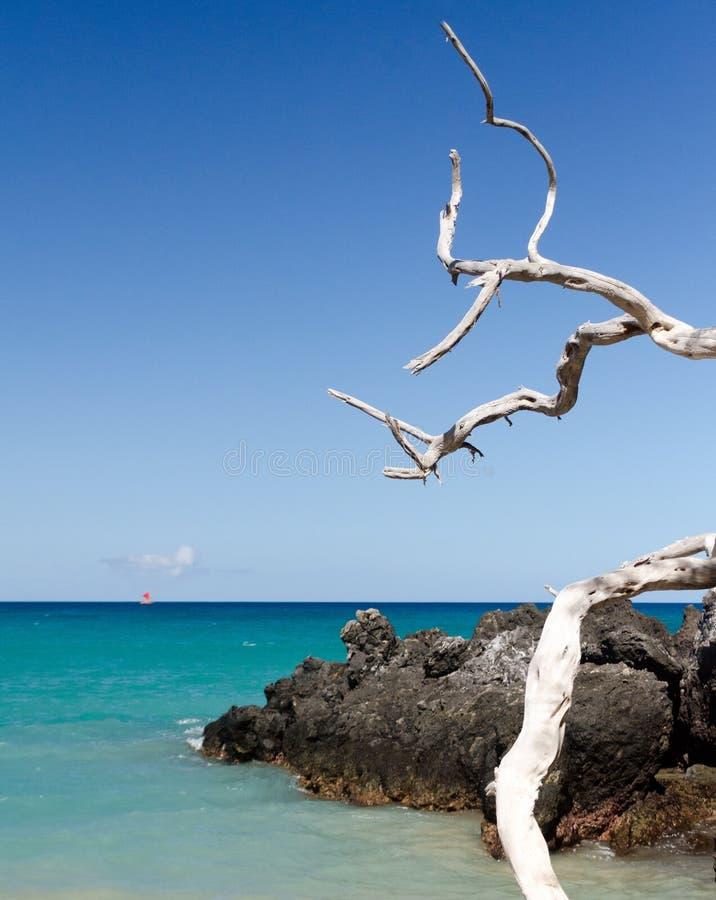 Piękny biały drywood rozgałęzia się dostawianie spokój Waialea plaża zdjęcie stock