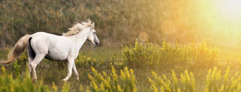 Piękny biały dzikiego konia bieg fotografia stock