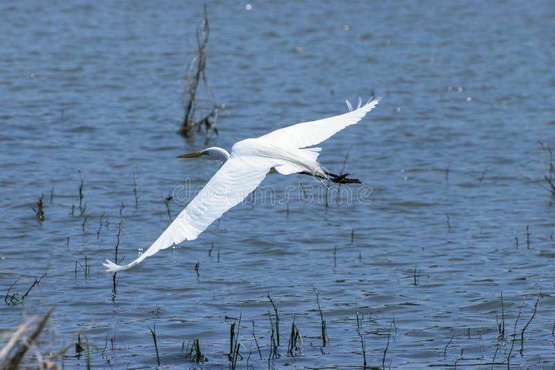 Piękny biały Egret ślizguje się nad jeziorem obrazy royalty free