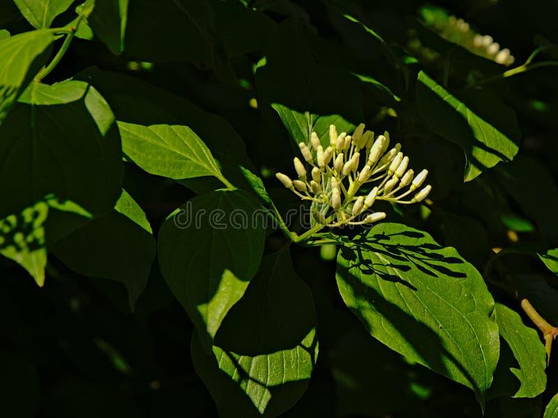 Piękny biały gałązki cornel kwiat w silnym słońca świetle fotografia stock