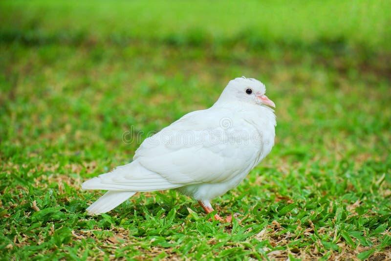 Piękny biały gołąbki lub gołębia Columba Livia stoi na zielonej trawie, Ptasi tło obraz stock