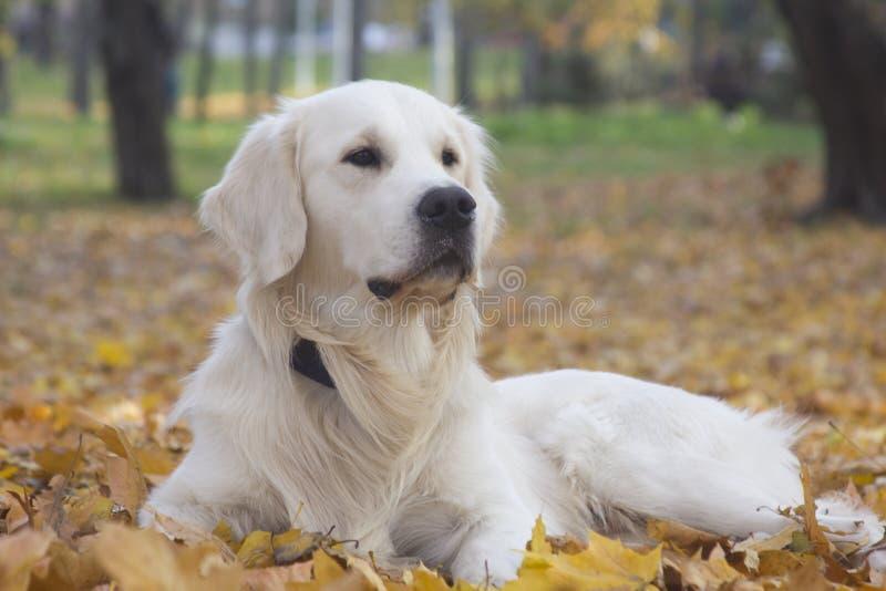 Piękny biały golden retriever pies przy jesienią zdjęcie royalty free