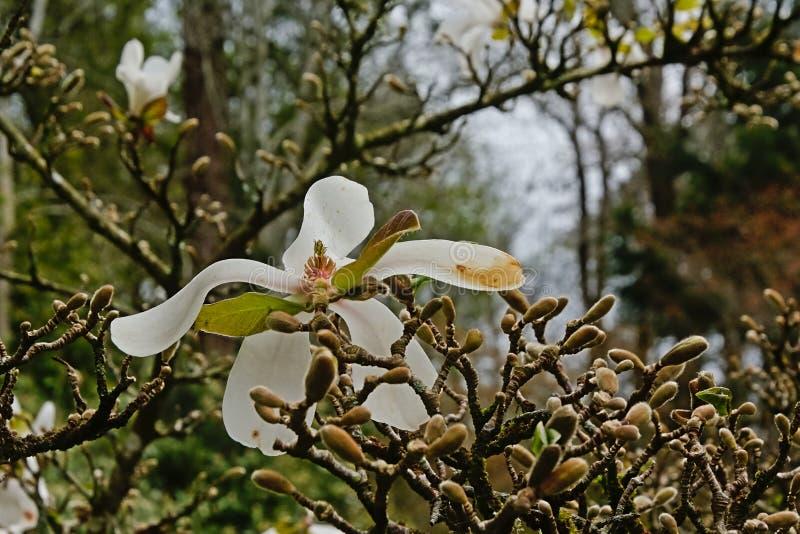 Piękny biały gwiazdowej magnolii kwiat, selekcyjna ostrość fotografia stock