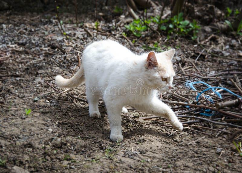Piękny biały i beżowy kot chodzi w podwórko w ogródzie na słonecznym dniu z pięknymi oczami, patrzeje ciekawy zdjęcia royalty free