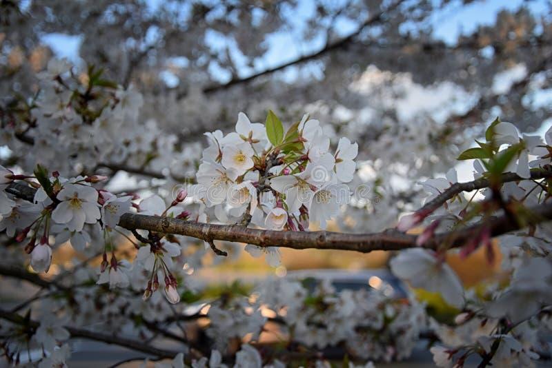 Piękny biały i różowy owocowego drzewa okwitnięcie gromadzi się w wiosna czasie, doskonalić nektar dla pszczół Zamyka w górę wido fotografia royalty free