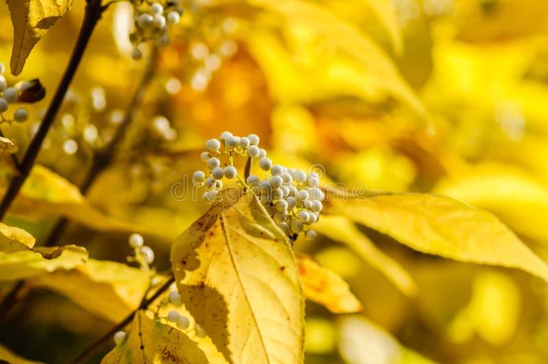 Piękny biały jagody Callicarpa bodinieri z jesienią barwi w tle obrazy stock