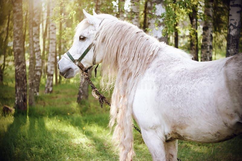 Piękny biały koń na tle brzoza gaj zdjęcie royalty free