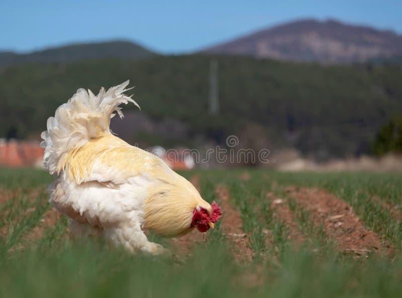 Piękny biały kogut pasa na zielonej trawie i peacks groszkują w polu zdjęcie royalty free