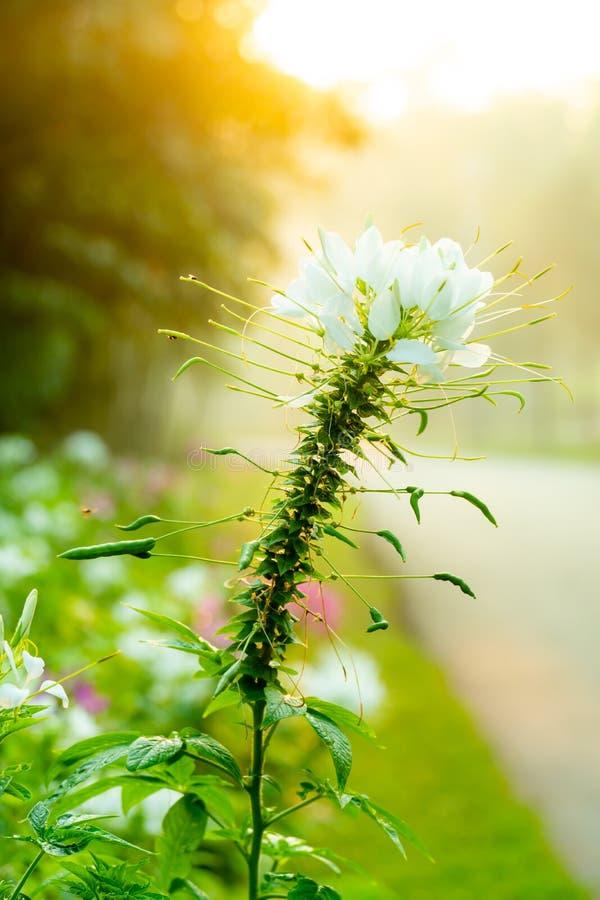 Piękny Biały kwiat obrazy stock