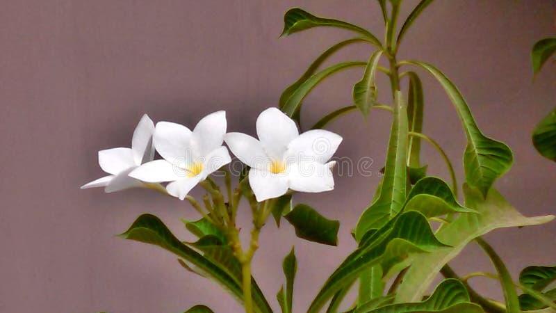 Piękny Biały kwiat obrazy royalty free