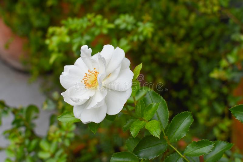 Piękny biały kwiat w ogródzie fotografia stock