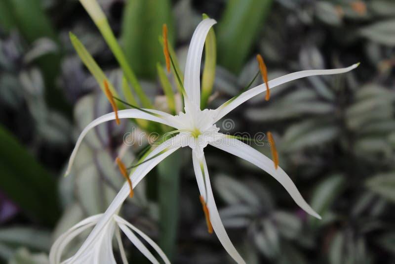 Piękny biały kwiat w ogródzie z liściem obrazy royalty free