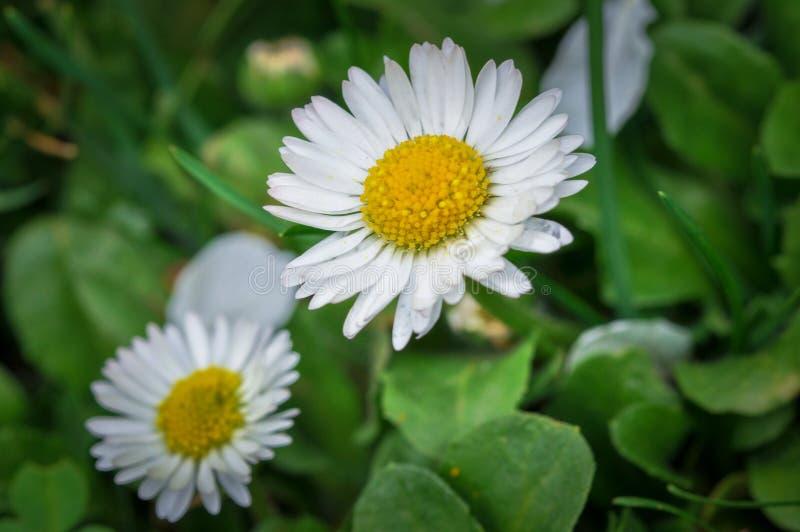 Piękny biały kwiat w zielonej trawie Chamomile zdjęcia royalty free
