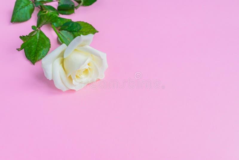 Piękny biały kwitnienie wzrastał na pastelowych menchii tle kwiecisty ramowy romantyczny kosmos kopii zdjęcie stock