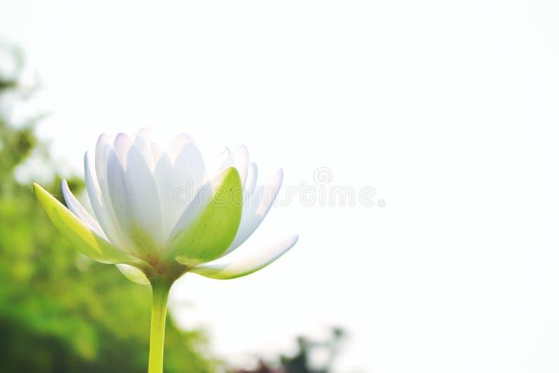 Piękny biały lotos Na białym nieba tle, zdjęcie royalty free