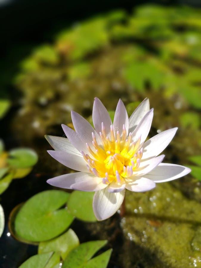 Piękny biały lotosowy kwiat w słonecznym dniu zdjęcia stock