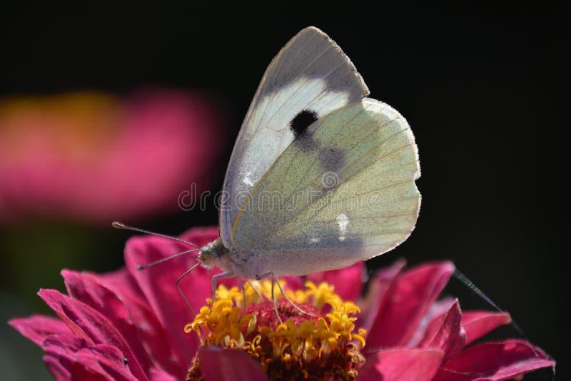 Piękny biały motyl na menchia kwiacie fotografia royalty free