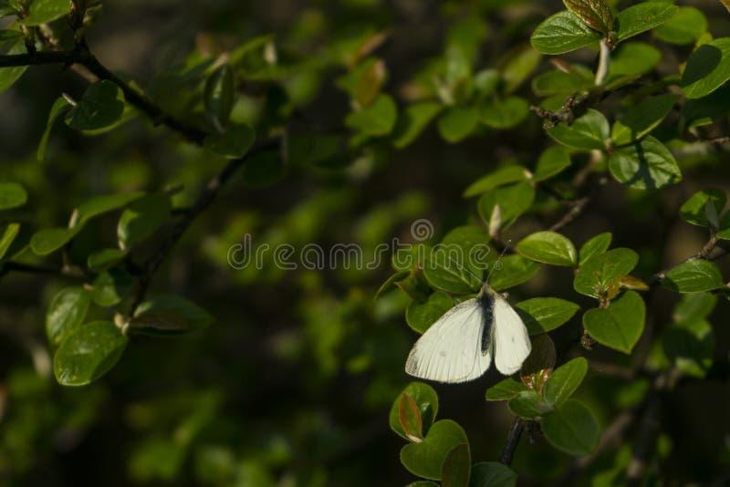 Pi?kny bia?y motyli czarny cia?o z zadziwiaj?c? zieleni? opuszcza w zamazanym tle Gr?e ?wiat?o z makro- w g?r? bielu zdjęcia stock