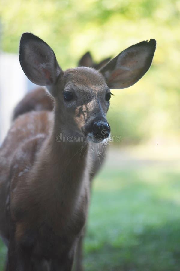 Piękny biały ogoniasty jeleni patrzeć w odległość obrazy royalty free