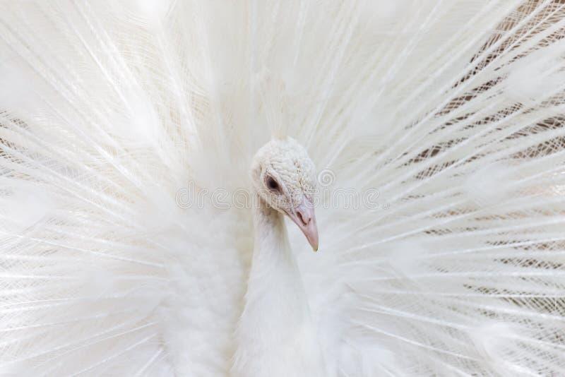 Piękny biały paw z piórkami out fotografia royalty free