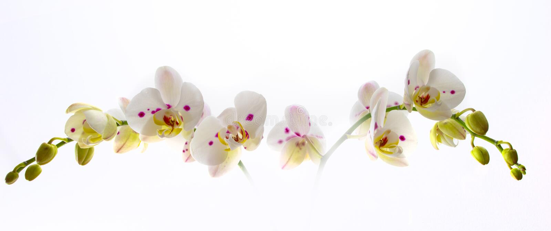 Piękny Biały Storczykowy kwiat nad Białym tłem obrazy stock