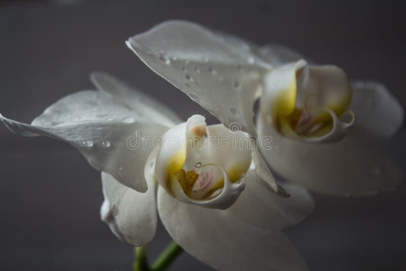 Piękny biały storczykowy rosnący na drewnianym tle obrazy royalty free