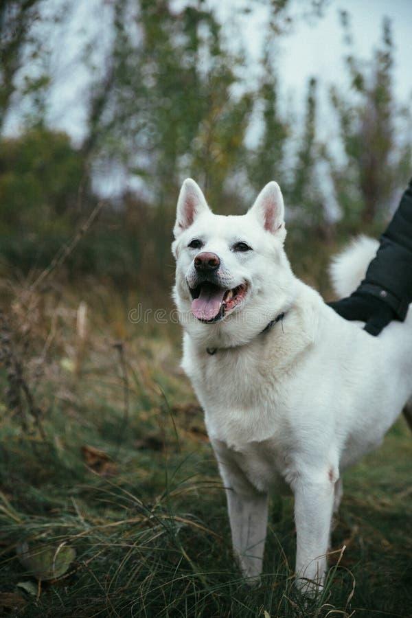 Piękny biały Syberyjskiego husky psa †‹â€ ‹gapi się i ono uśmiecha się fotografia stock
