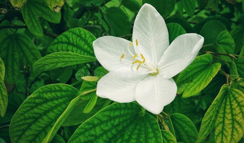 Piękny biały zielarski kwiat w zielarskim ogródzie obraz stock