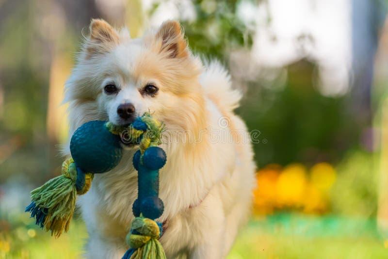 Piękny bielu pies - pomeranian niemiecki spitz kleina przynosi zabawkarskiego bieg w kierunku kamery fotografia stock