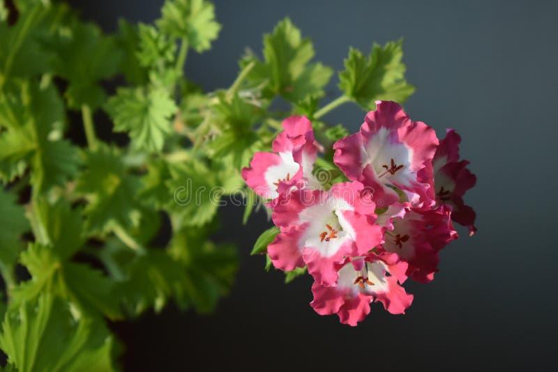 Piękny bodziszek barwiący kwiat obrazy stock