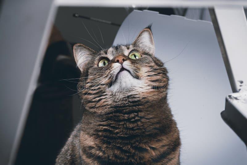 Piękny, brązowy kot ostrożnie patrzy na kamerę Fotografia studyjna obrazy royalty free