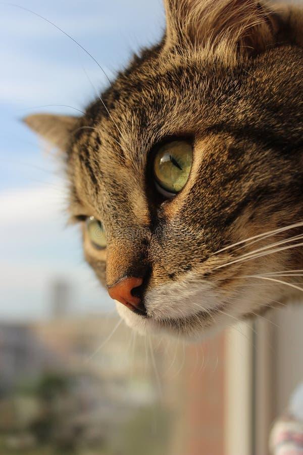 Piękny brązu tabby kot z dużymi zielonymi oczami na tle lato zielenieje zdjęcia stock