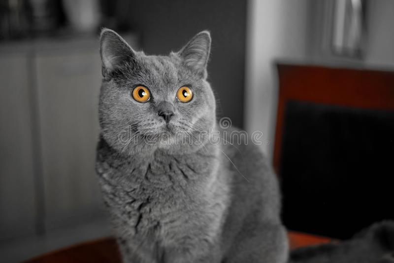 Piękny Brytyjski szary zbliżenie kot z żółtymi oczami zdjęcia royalty free