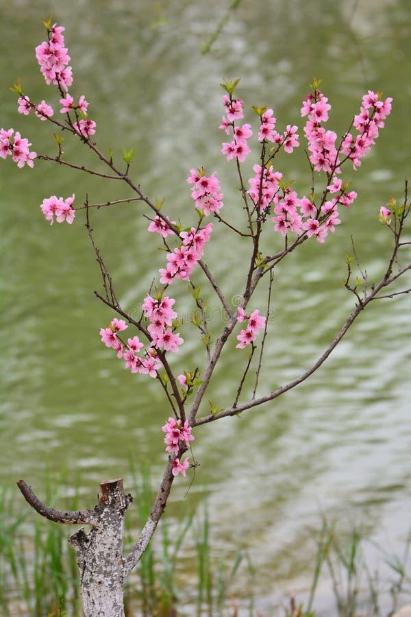 Piękny brzoskwini okwitnięcie zdjęcie royalty free