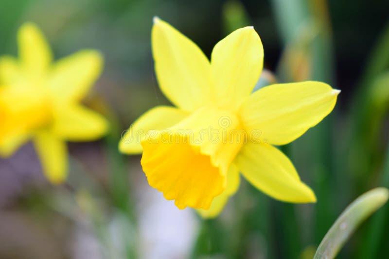 Piękny bukiet żółci kwiaty zdjęcie royalty free