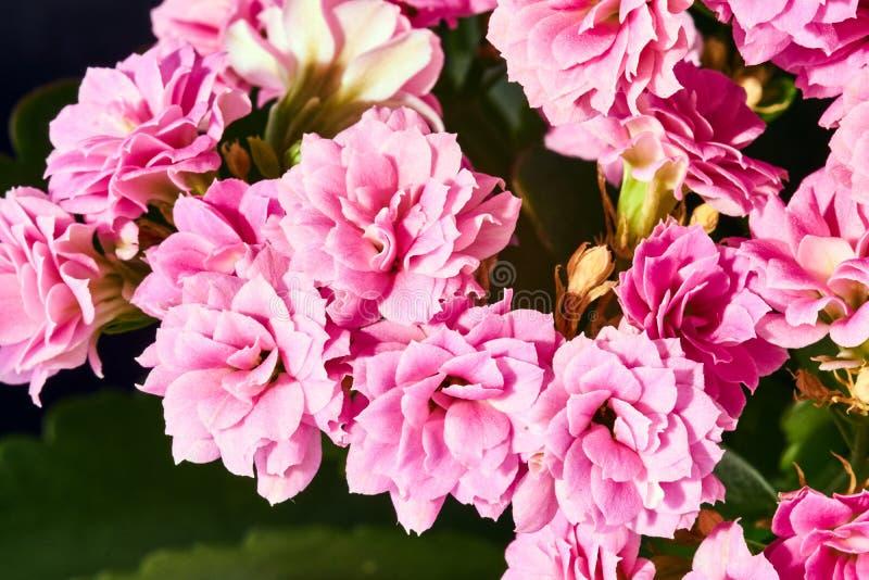 Piękny bukiet kalanchoe kwiaty obrazy royalty free