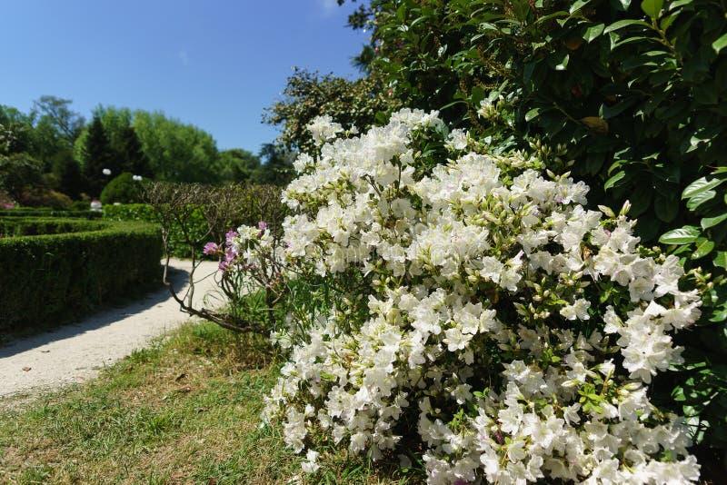 Piękny Bush kwitnąć białe azalie genus różanecznik w miasto parku s?oneczny dzie? obraz royalty free