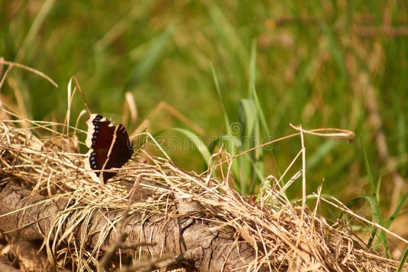 Piękny butterly siedzieć na suchej trawie obraz royalty free
