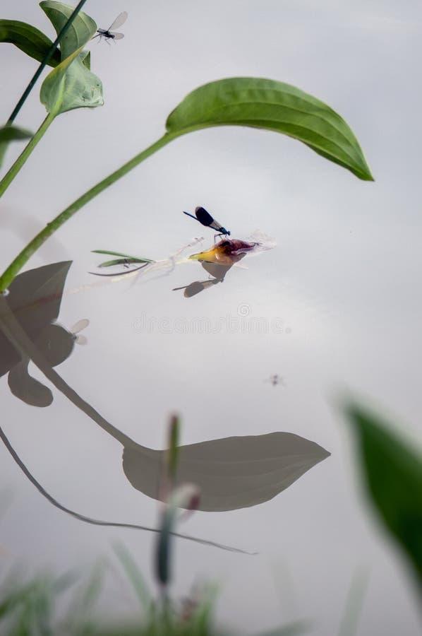 Piękny Calopteryx splendens dragonfly i swój odbicie w wczesnym poranku przed wschód słońca zdjęcia stock